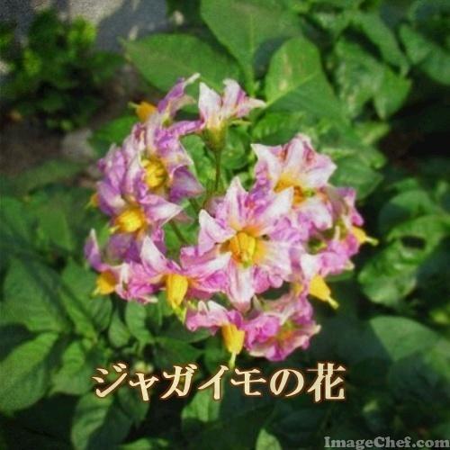 5/12 ジャガイモの花.jpg