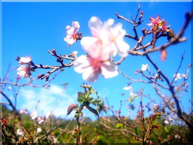 11/8 桜.jpg