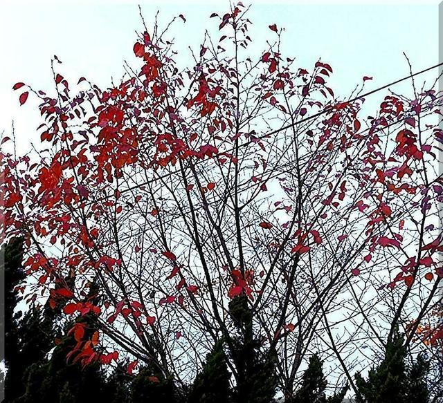 12/10 紅葉.jpg