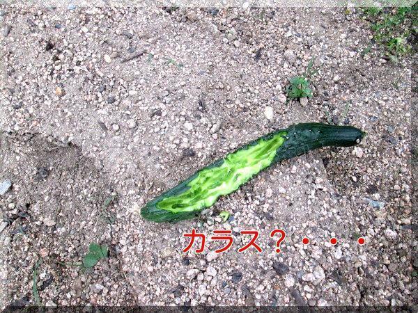 5/29 キュウリ.jpg