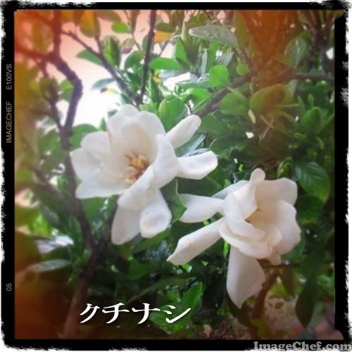 6/15 クチナシ.jpg