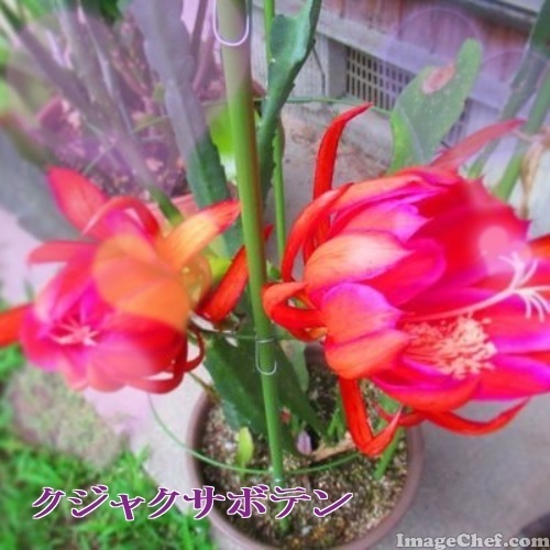 6/15 孔雀サボテン.jpg