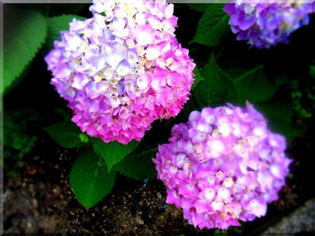 6/3 紫陽花.jpg