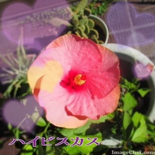 8/14 ハイビスカス.jpg
